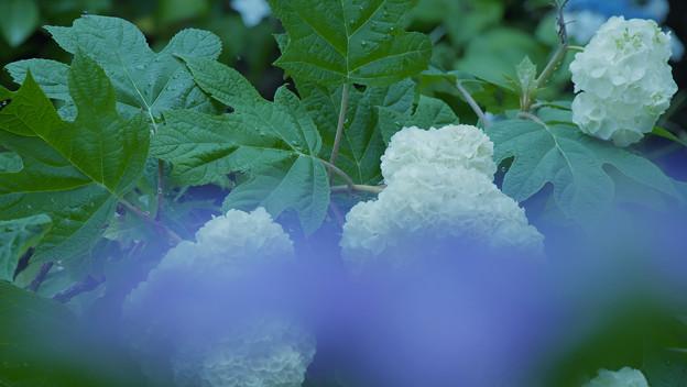 写真: 紫陽花13-3