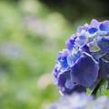 紫陽花14-1