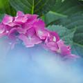 紫陽花14-3