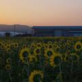 写真: 向日葵3-1
