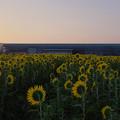 写真: 向日葵3-4