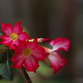 Photos: Adenium