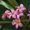 写真: Plumeria rubra_1