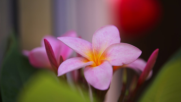 写真: Plumeria rubra_2