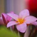Plumeria rubra_2