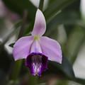 C.bicalhoi coelurea