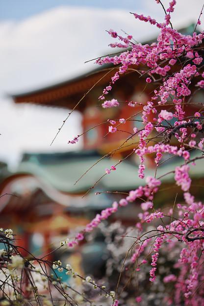 Photos: しだれ梅2-5