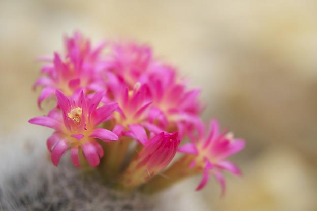 サボテンの花_1