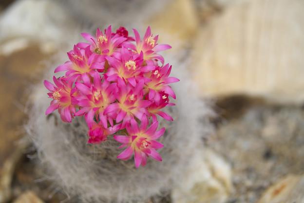サボテンの花_2