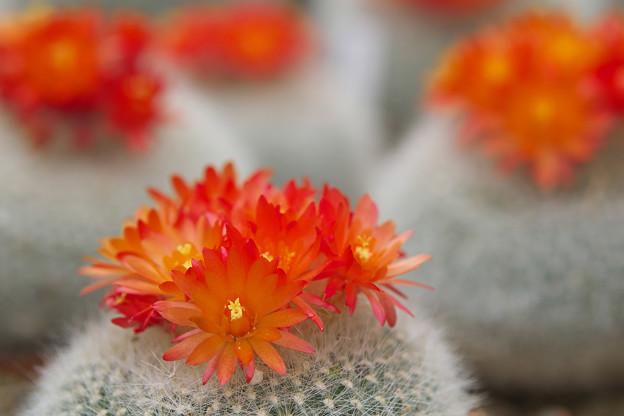 サボテンの花_3