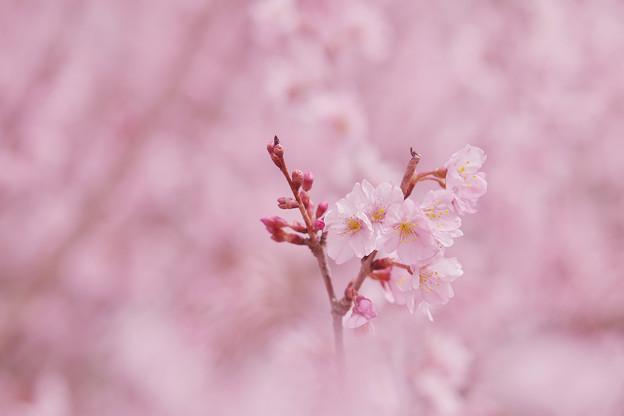 啓翁桜2-1