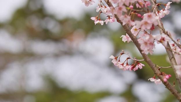 啓翁桜2-3