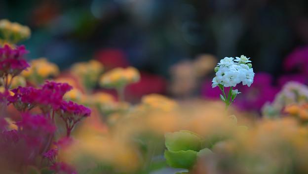 多肉植物の花・1