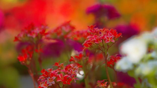 多肉植物の花・4