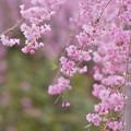 しだれ桜1-1