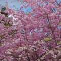 しだれ桜1-4