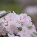石楠花1-5