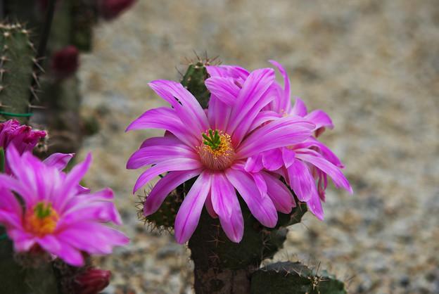 サボテンの花1-1