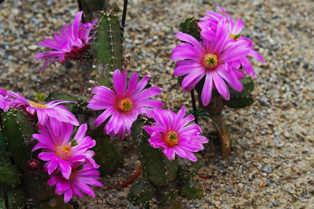 サボテンの花1-2