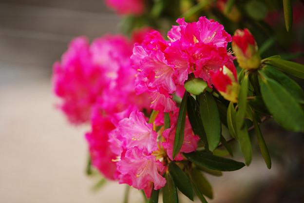 石楠花2-2