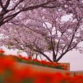 春・ときわ公園2-3