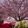 春・ときわ公園2-4