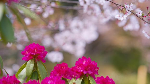 石楠花3-2