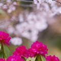 Photos: 石楠花3-2