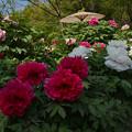 Photos: 牡丹祭り4-1