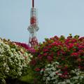 Photos: 大平山・山頂公園のツツジ1-2