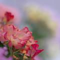 春バラ展1-5