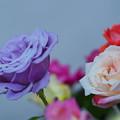 春バラ展1-6