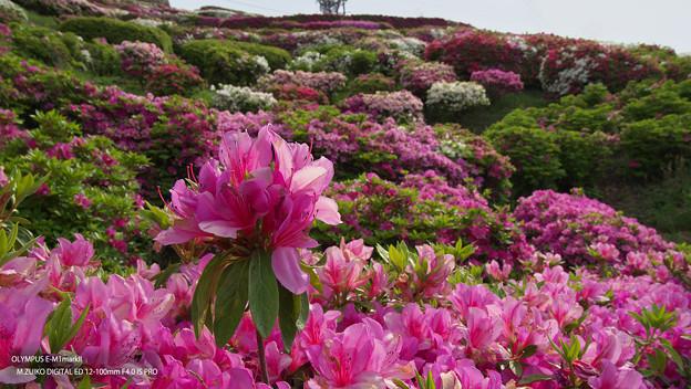 Photos: 大平山・山頂公園のツツジ5-1