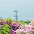 Photos: 大平山・山頂公園のツツジ6-4