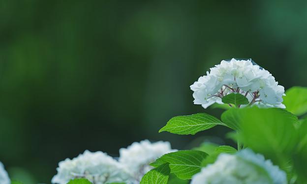 紫陽花1-4