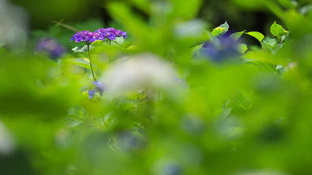 紫陽花1-5