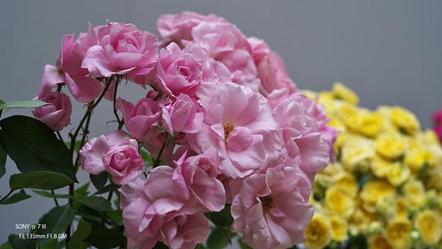 春のバラ展7-1