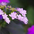 紫陽花2-1
