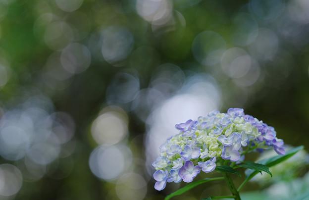 紫陽花2-4