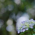 Photos: 紫陽花2-4