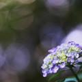 Photos: 紫陽花2-5