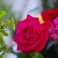 春のバラ展8-1