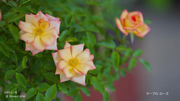 春のバラ展8-6