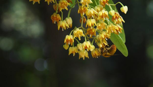 菩提樹の花・2
