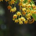 Photos: 菩提樹の花・2