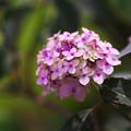 紫陽花3-2