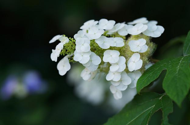 紫陽花4-2