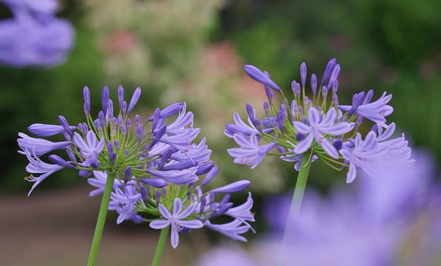 初夏の花4-2
