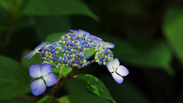 紫陽花5-4