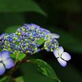 Photos: 紫陽花5-4